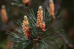 Męscy kwiaty Scots sosna Fotografia Royalty Free