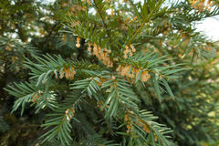 Męscy kwiaty Taxus baccata w Kwietniu Zdjęcie Stock