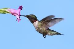 Męscy Throated Hummingbird archilochus colubris Zdjęcia Stock