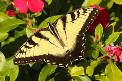 Męscy Tygrysi Swallowtail papilio glaucas Fotografia Royalty Free