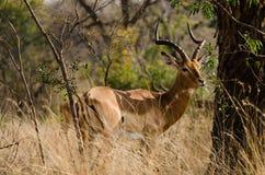 Męska antylopa w Kruger obszarach trawiastych Zdjęcie Royalty Free