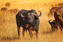 Męska bawolia byk pozycja na suchej trawy równinie Fotografia Stock
