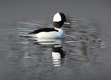 Męska Bufflehead kaczka na wodzie Fotografia Royalty Free