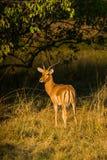Męska Impala antylopa Obrazy Stock