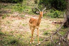 Męska Impala gazela Fotografia Stock