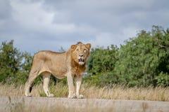 Męska lew pozycja na drodze Obrazy Royalty Free