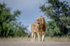Męska lew pozycja na drodze Zdjęcie Stock