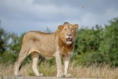 Męska lew pozycja na drodze Fotografia Stock