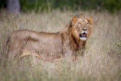 Męska lew pozycja w wysokiej trawie Zdjęcie Royalty Free