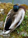 Męska Mallard kaczka obraz stock
