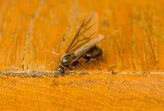 Męska mrówka Zdjęcia Stock