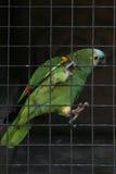 męska papuga Obraz Royalty Free