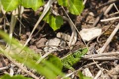 Męska piasek jaszczurka, Lacerta agilis w kryjówce/ Zdjęcie Royalty Free