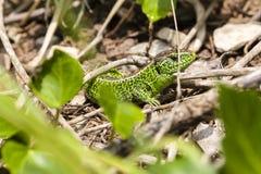 Męska piasek jaszczurka, Lacerta agilis w kryjówce/ Fotografia Stock