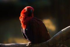 Męska rosella papuga Obrazy Royalty Free