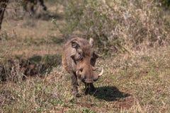 Męska Warthog przyroda Fotografia Stock