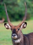 Waterbuck (Kobus ellipsiprymnus) antylopa Zdjęcie Royalty Free