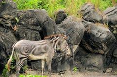 Męska zebra Obraz Stock
