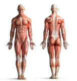 Męski anatomia widok Fotografia Stock