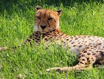 Męski Asiatic geparda Acinonyx jubatus venaticus odpoczywa na Obraz Royalty Free