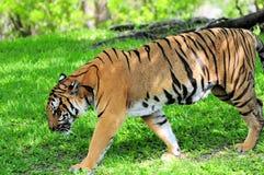 Męski Azjatycki tygrys Obrazy Royalty Free