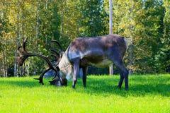 Męski caribou pasanie Zdjęcie Royalty Free