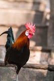 Męski Czerwony Junglefowl Zdjęcie Royalty Free