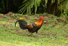 Męski Czerwony junglefowl (Gallus gallus) Zdjęcia Stock