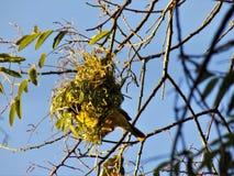 Męski czubaty tkacza ptaka inside jego gniazdeczko fotografia royalty free