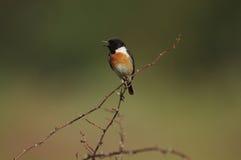 Męski Europejski stonechat ptak (Saxicola rubicola) Fotografia Stock