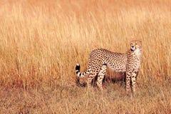 Męski gepard w Masai Mara Obraz Stock
