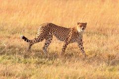Męski gepard w Masai Mara Zdjęcia Royalty Free