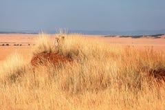 Męski gepard w Masai Mara Obrazy Stock