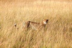 Męski gepard w Masai Mara Obrazy Royalty Free