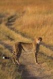 Męski gepard w Masai Mara Zdjęcie Stock