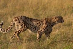 Męski gepard w Masai Mara Zdjęcie Royalty Free