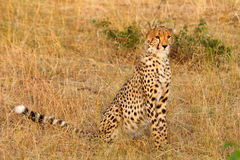Męski gepard w Masai Mara Fotografia Royalty Free