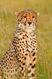 Męski gepard w Masai Mara Fotografia Stock