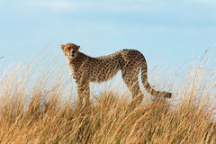 Męski gepard w Masai Mara Obraz Royalty Free