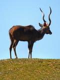 Męski Impala Afryka Obrazy Stock