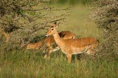 Męski impala antylopy Tragelaphus strepsiceros w naturalnym siedlisku, Etosha park narodowy, Namibia Zdjęcie Royalty Free