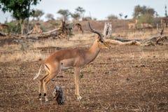Męski Impala od strony Zdjęcie Royalty Free