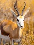 Męski Impala odprowadzenie w naturalnym siedlisku sawanna, Moremi gry rezerwa, Botswana, Afryka Obrazy Stock
