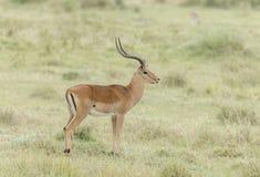 Męski impala pasanie przy jeziornym Nakuru Fotografia Royalty Free