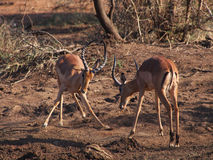 Męski impala sparring Obrazy Royalty Free