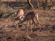Męski impala sparring Fotografia Royalty Free