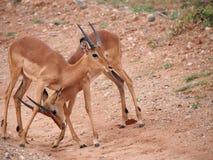 Męski impala sparring Obrazy Stock