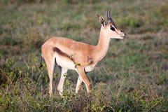 Męski impala w Serengeti Zdjęcia Royalty Free