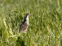 Męski jazgarz na migraci Zdjęcie Royalty Free