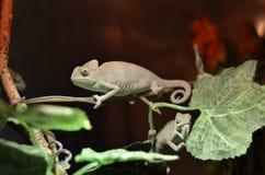 Męski kameleon na drzewie Obrazy Stock